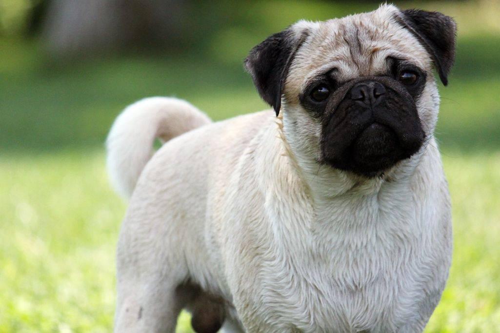 Мопс - все о породе собаки