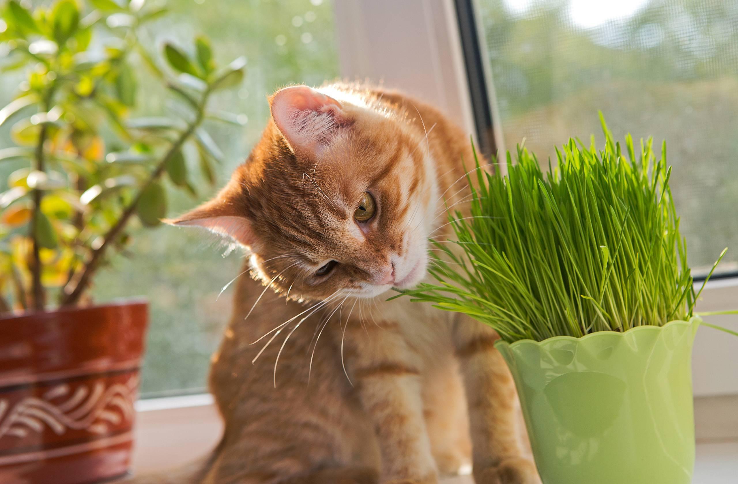 Какую траву любят кошки: почему кошки ее едят, как вырастить