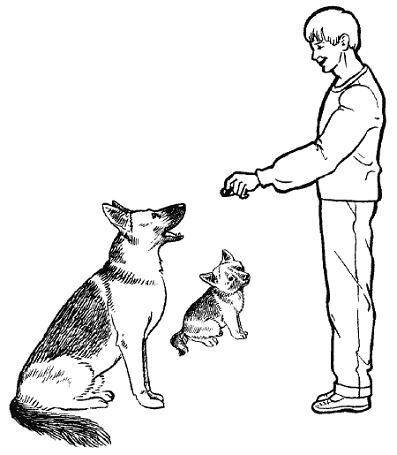 Воспитание лайки для охоты: как воспитать лайку для охоты, воспитание щенка лайки для охоты