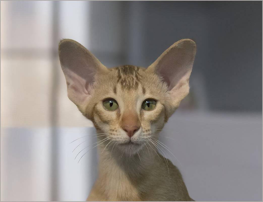 Прямоухие шотландские кошки скоттиш-страйт: описание внешности и характера породы, уход за шотландцем, выбор котёнка, фото кота