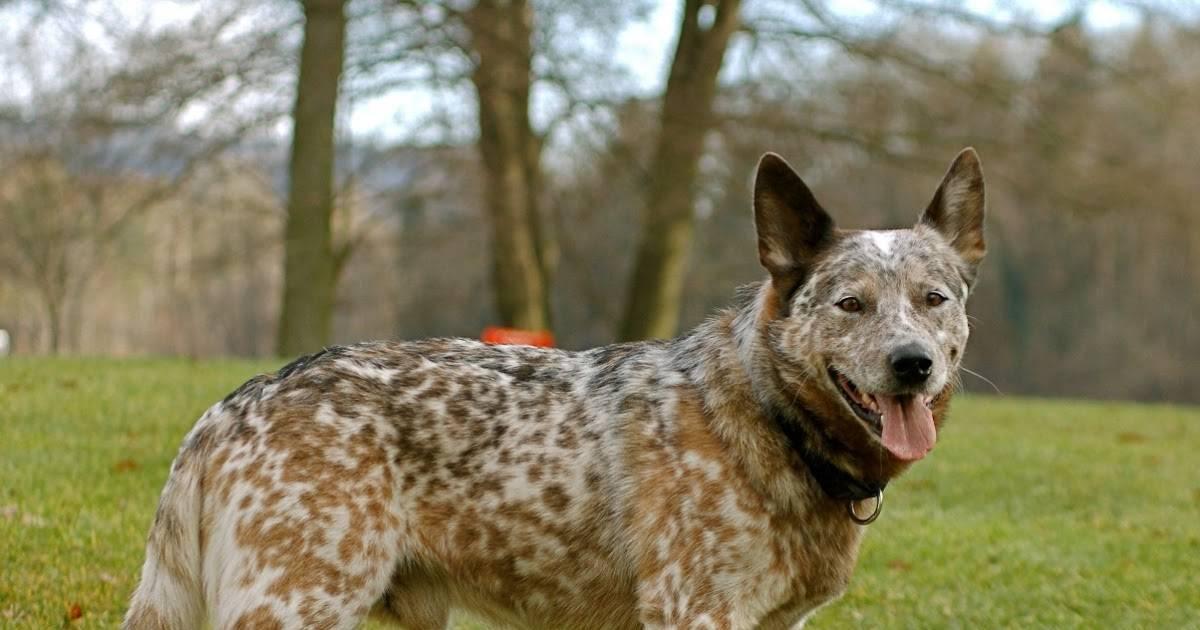 Австралийская короткохвостая пастушья собака – фото, история происхождения, уход
