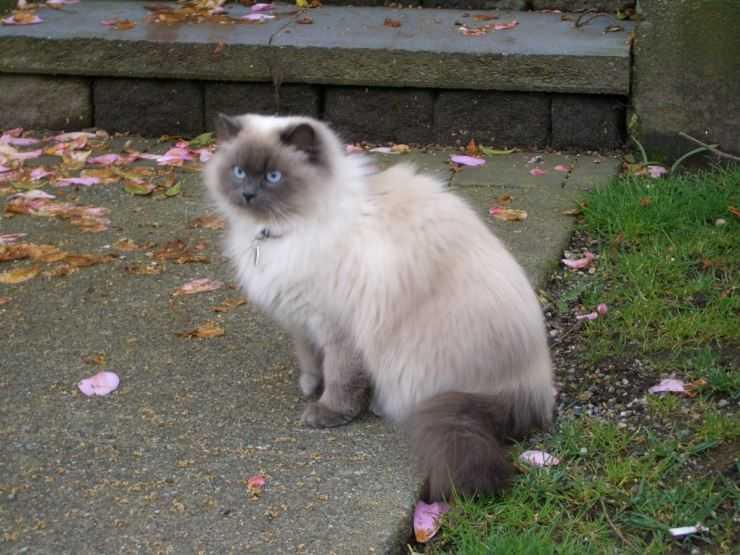 Гималайская кошка: стандарт внешности, правила содержания питомца