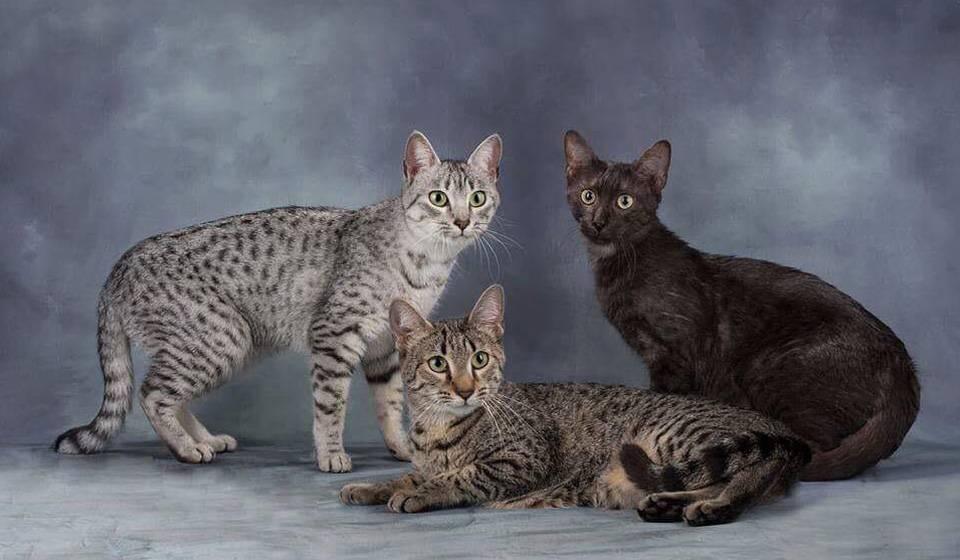 Египетская мау: описание породы кошек, 40 фото, окрасы, котята