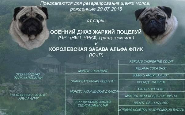 Сколько лет живут мопсы и как продлить псу жизнь