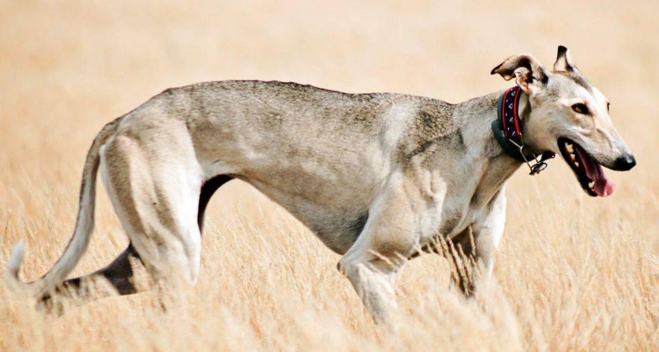 Хортая борзая — описание и уход за охотничьей породой