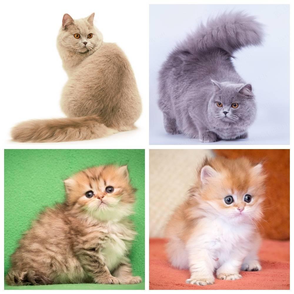 Британская кошка: описание и характер породы, кормление