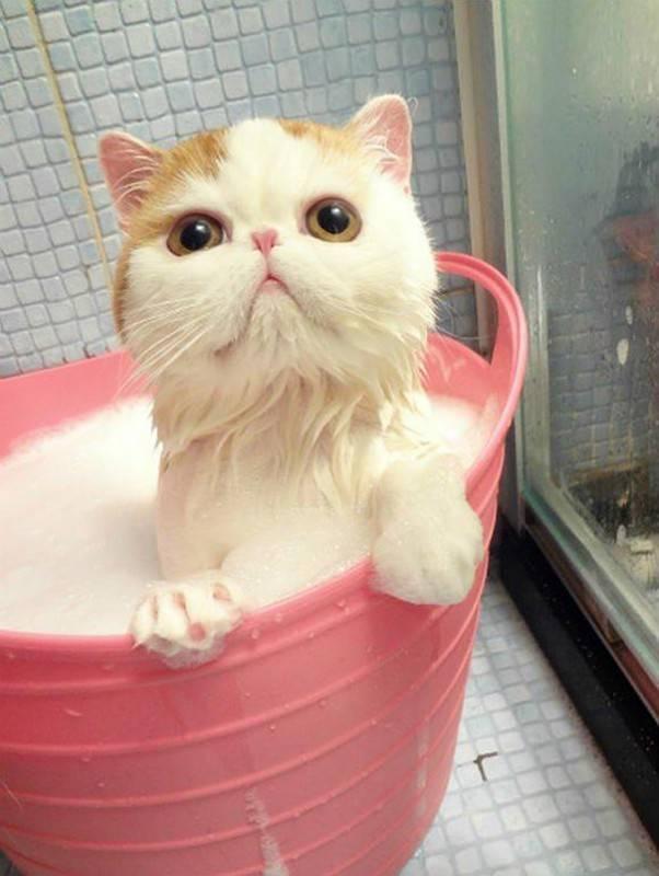 Какие кошки любят воду: как приучить кошку к купанию