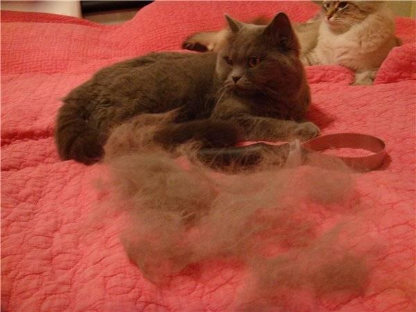 У кота выпадает шерсть клоками? возможно, ваш любимиц болен