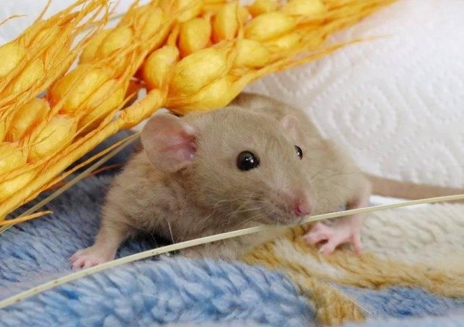 Что ест крыса в дикой природе и в домашних условиях?