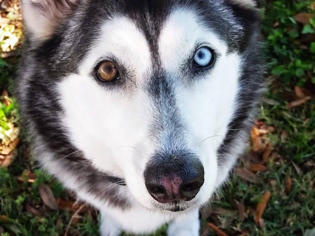 Хаски с разными глазами (21 фото): как называется разноглазая собака? описание щенков арлекин белого, чёрного и коричневого цветов