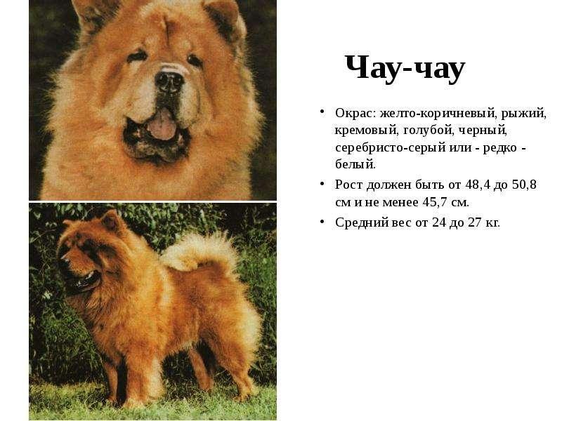 Чау-чау панда — что это за порода, фото щенков и взрослых собак