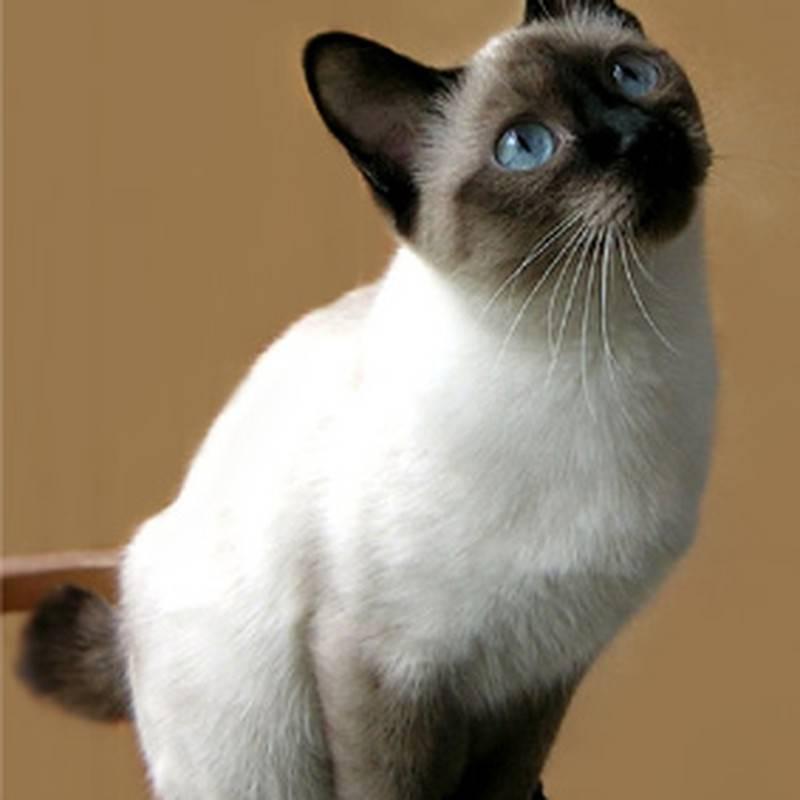 Скиф той боб — кошка, выведенная в ростове: история создания и описание внешности, особенности поведения