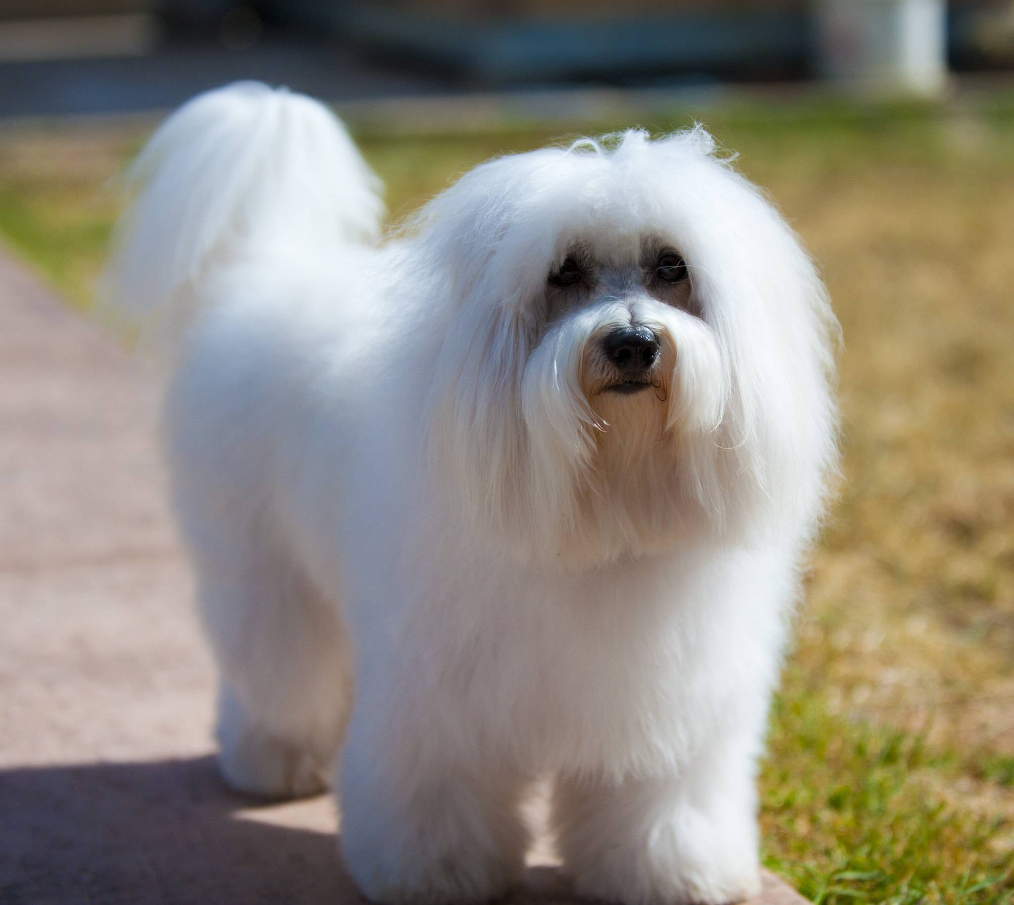 Котон де тулеар: описание породы - моя собака