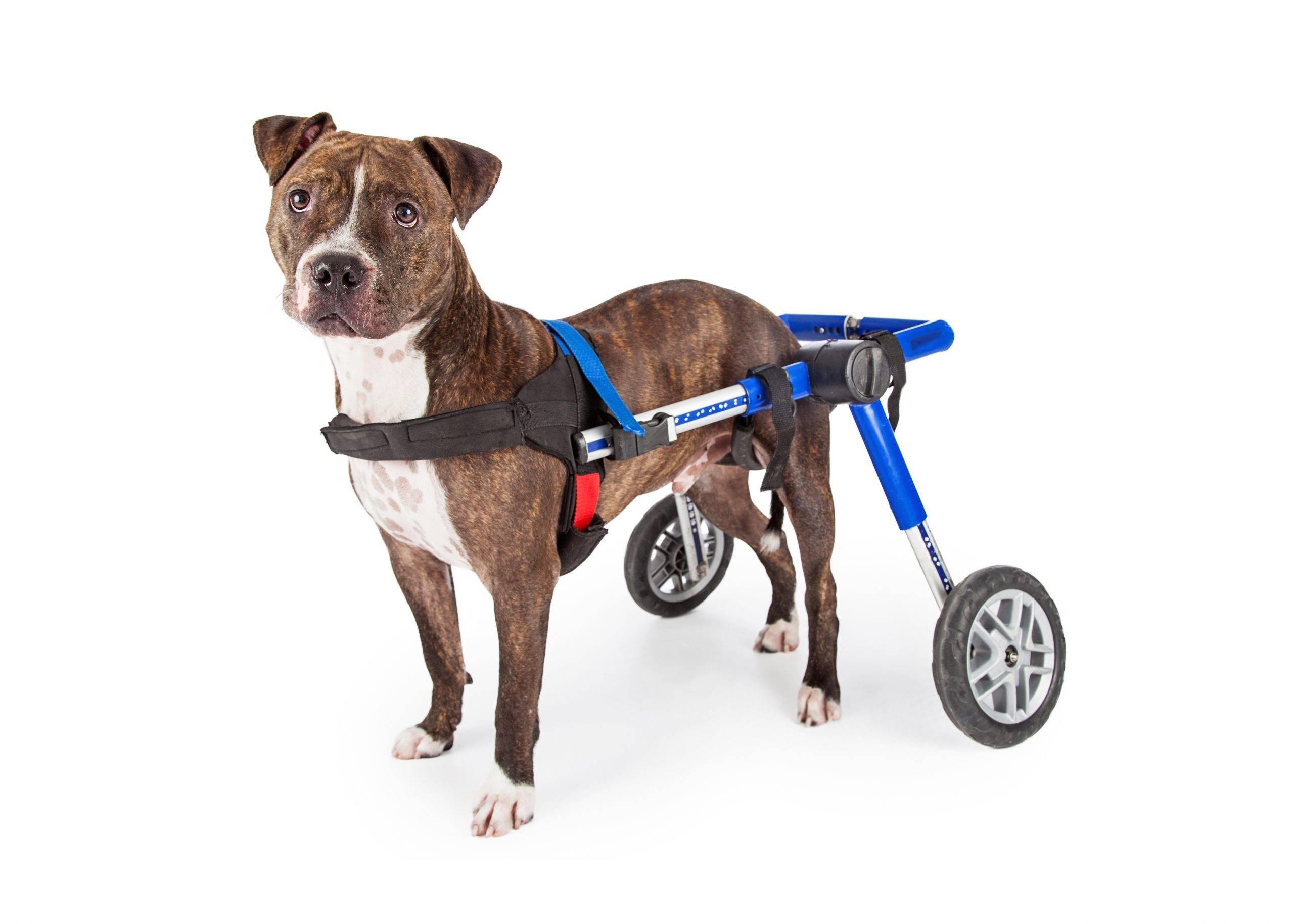Запасные ноги для собак-инвалидов: лечебная тележка amigo