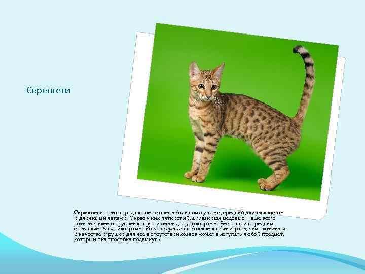 Кошки » породы » серенгети