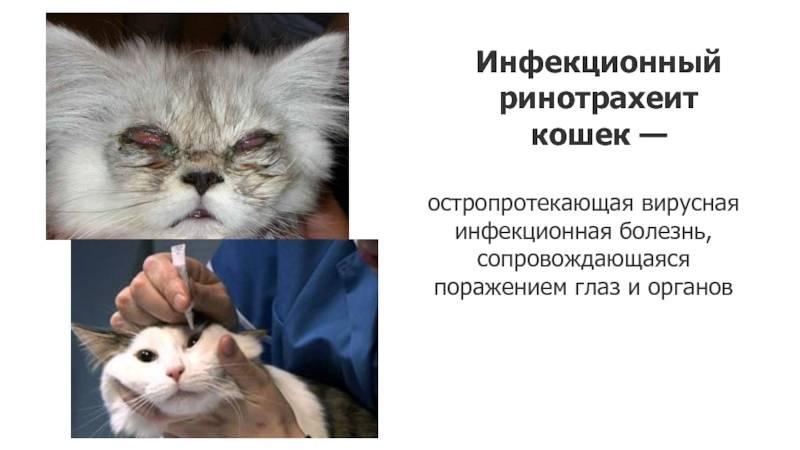Ринотрахеит у кошек: лечение в домашних условиях