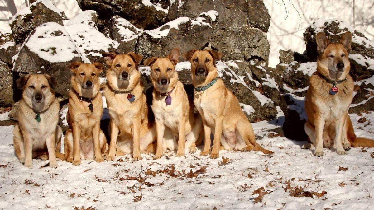 Чинук: описание породы, характер, уход,  фото | все о собаках