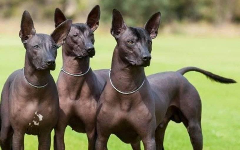 Голая собака инков: описание породы, характеристика, фото   все о собаках
