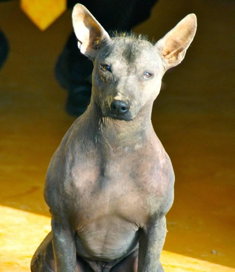 Голые собаки: обзор пород и особенности ухода