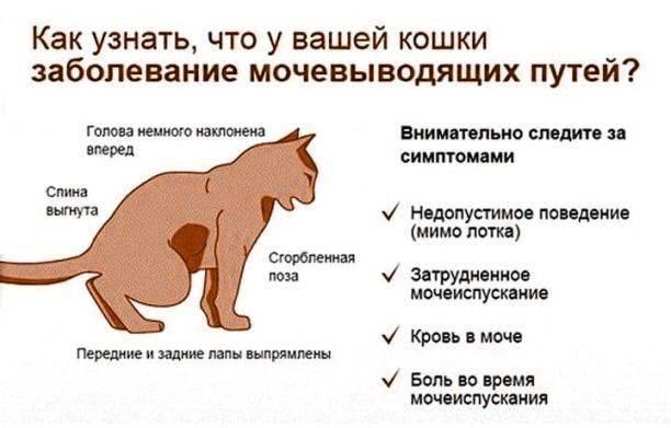 Идиопатический цистит кошек (fic) – статья о лечении животных ивц мва