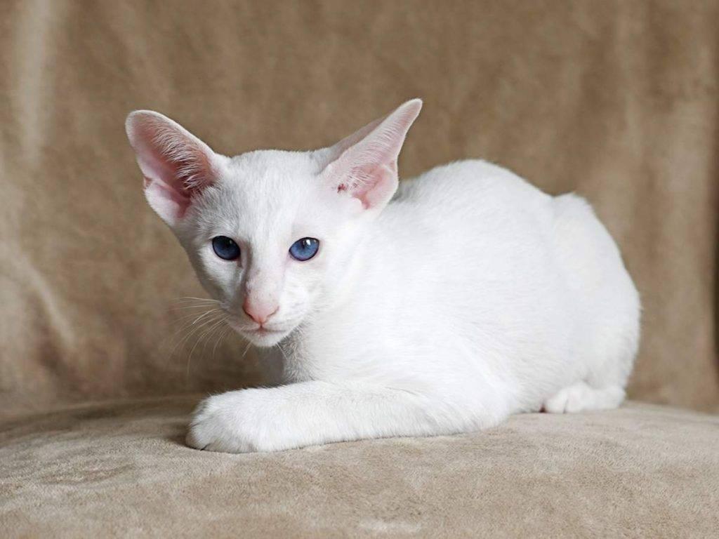 Форин вайт: фото кошки, цена, описание породы, характер, видео, питомники
