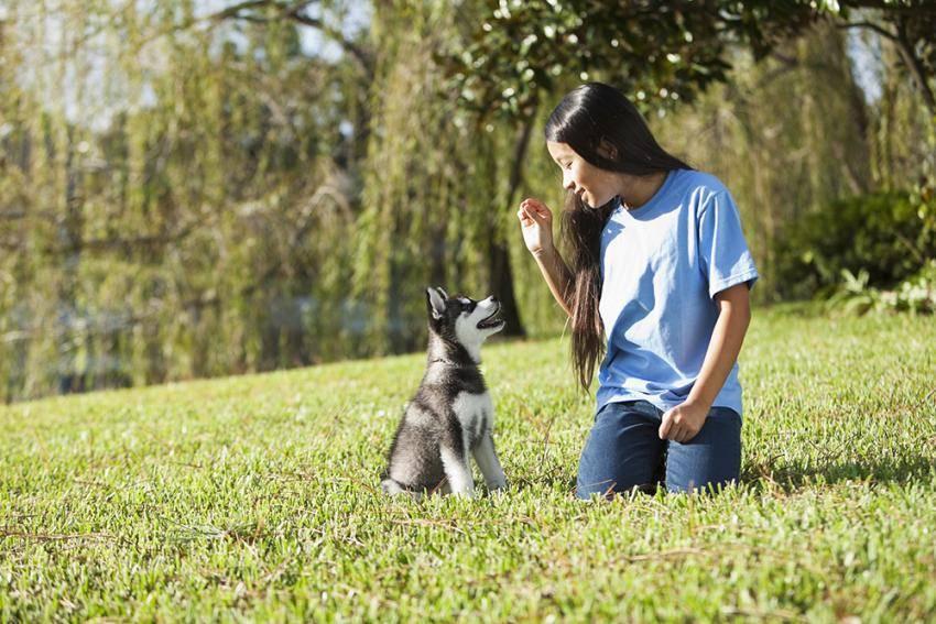 Дрессировка хаски самостоятельно | собачий блог