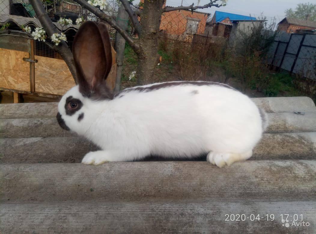 Кролики строкачи: описание немецкой породы домашних животных