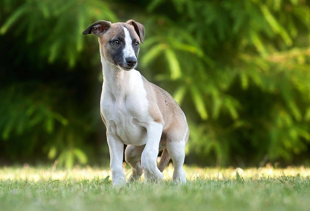 Уиппет — описание породы, цена и характеристика собаки. уиппет — описание и особенности породы