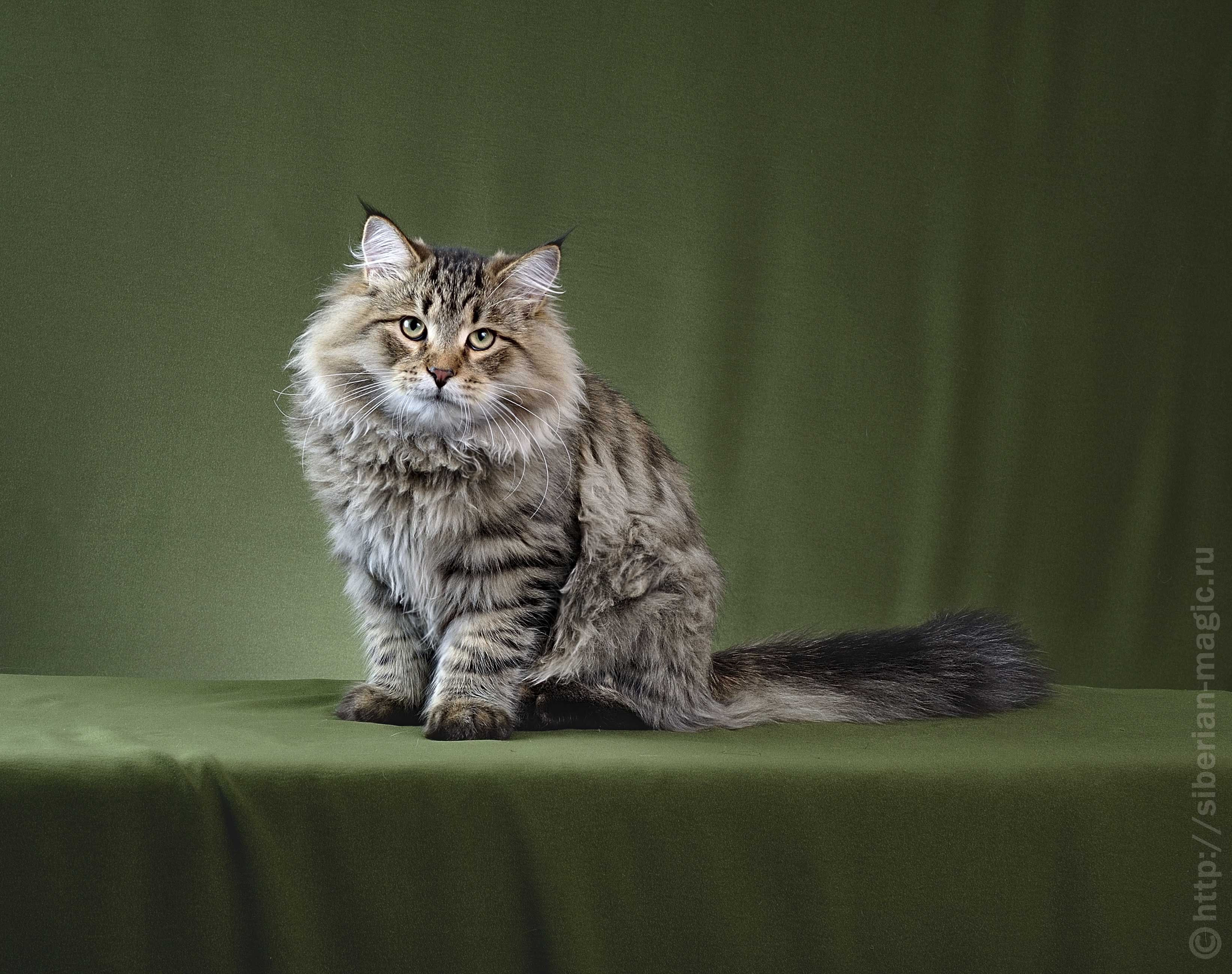 Сибирская кошка отличается покладистым характером и повадками охотника