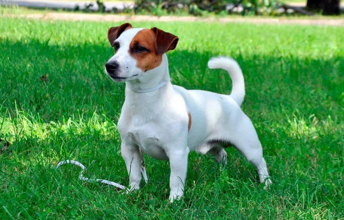 Джек рассел терьер и парсон рассел терьер: отличия и сходства пород с фото и видео собак