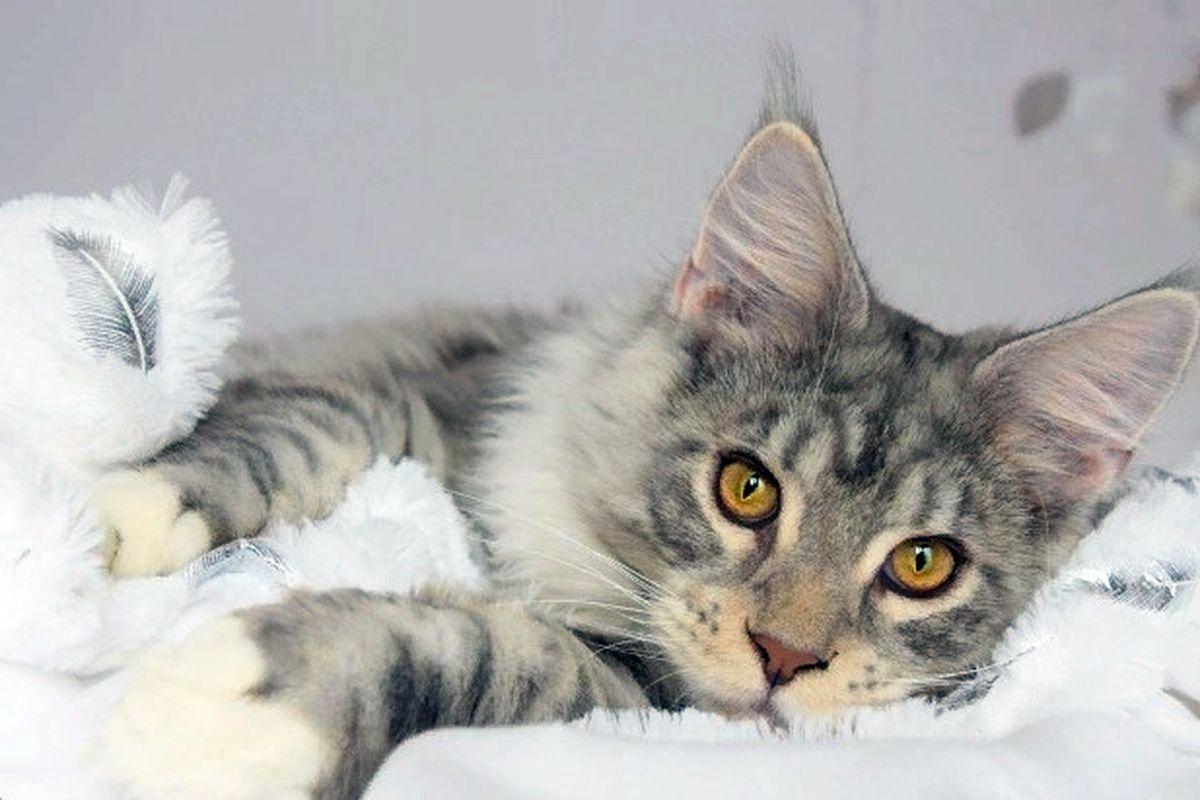 19 лучших пород кошек