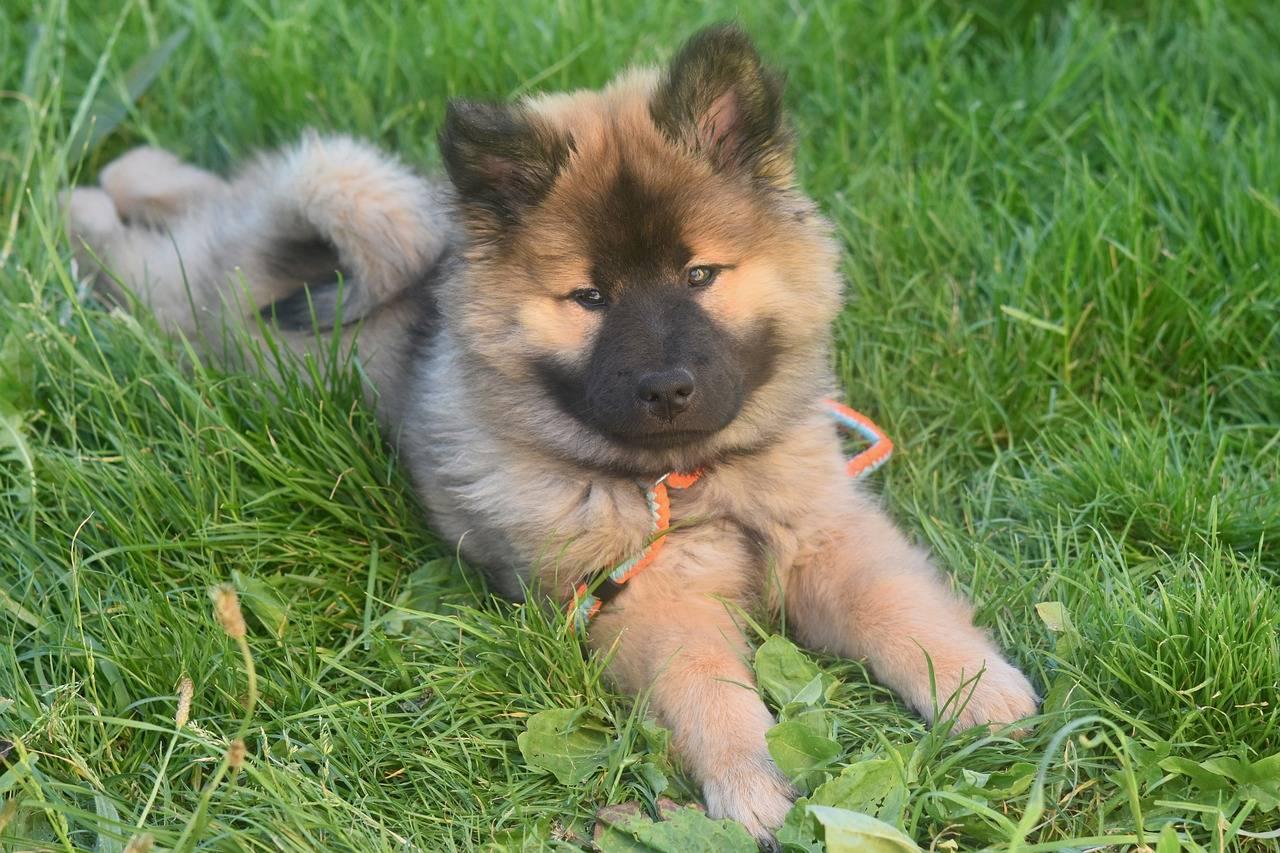 Собака породы евразиер (ойразир) - описание породы евразийского шпица