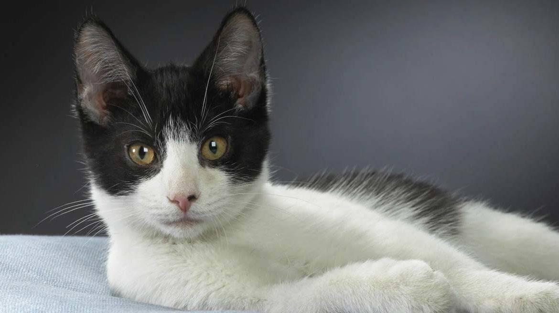 Бразильская короткошерстная кошка: описание породы, экстерьер, цена бразильской кошки