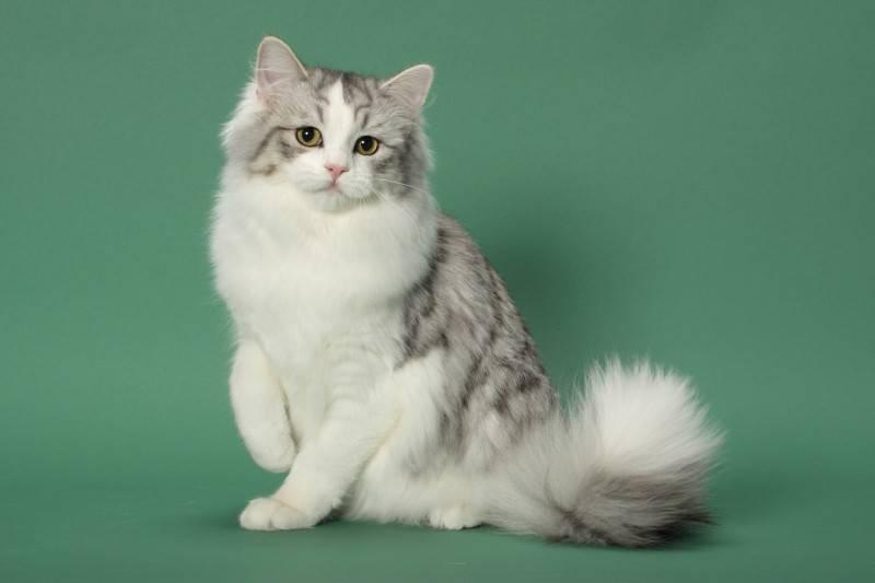 Рагамаффин: описание породы кошек, фото и видео материалы, отзывы о породе