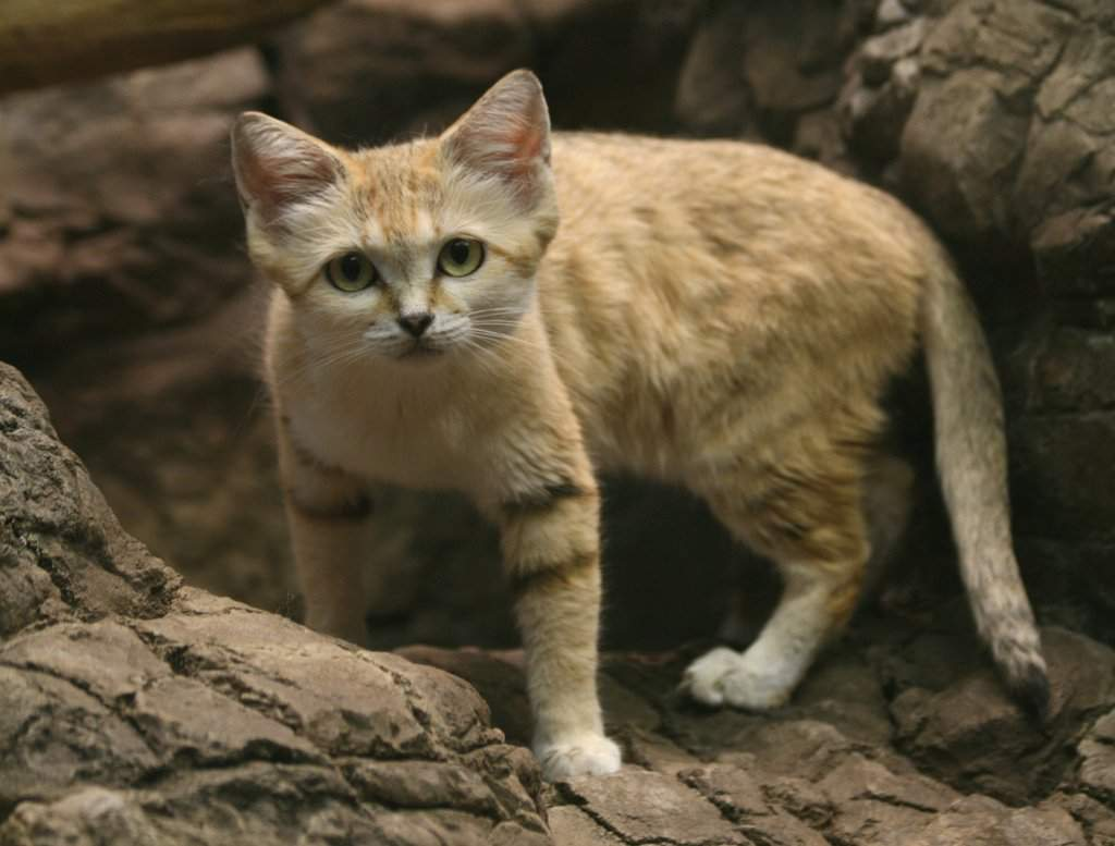 Барханный кот: особенности породы