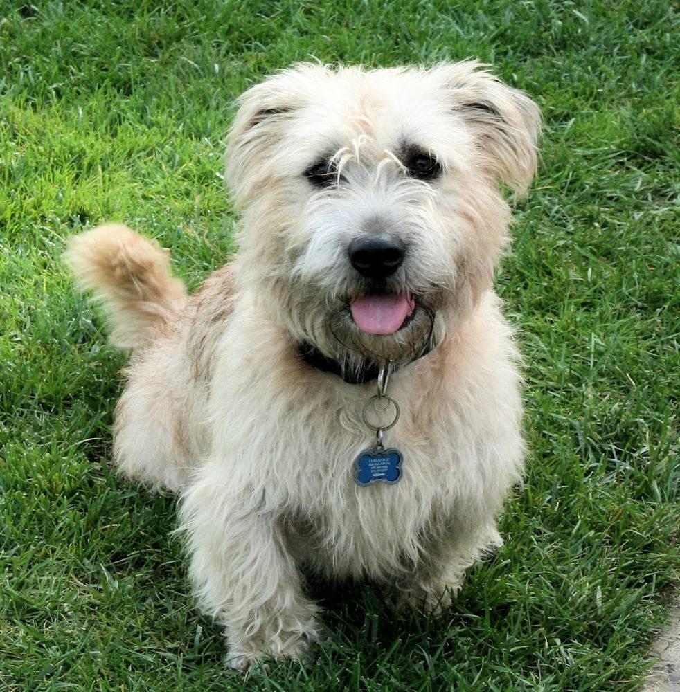 Все о глен оф имаал терьере: внешний вид ирландской собаки по стандарту породы, фото животного, уход и содержание