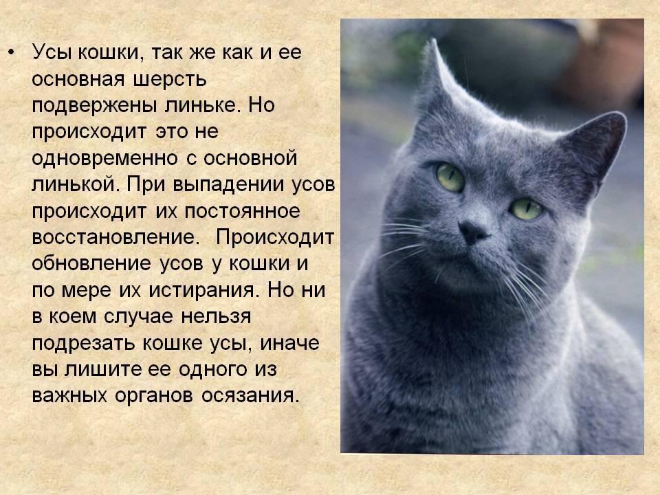 Отрастают ли усы у кошек - для чего нужны - kotiko.ru