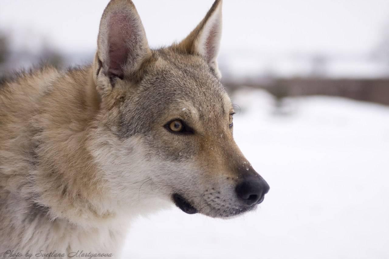 Чехословацкая волчья собака: характеристика породы, фото, плюсы иминусы, содержание вквартире, дрессировка, цена щенков + отзывы (чешский влчак)