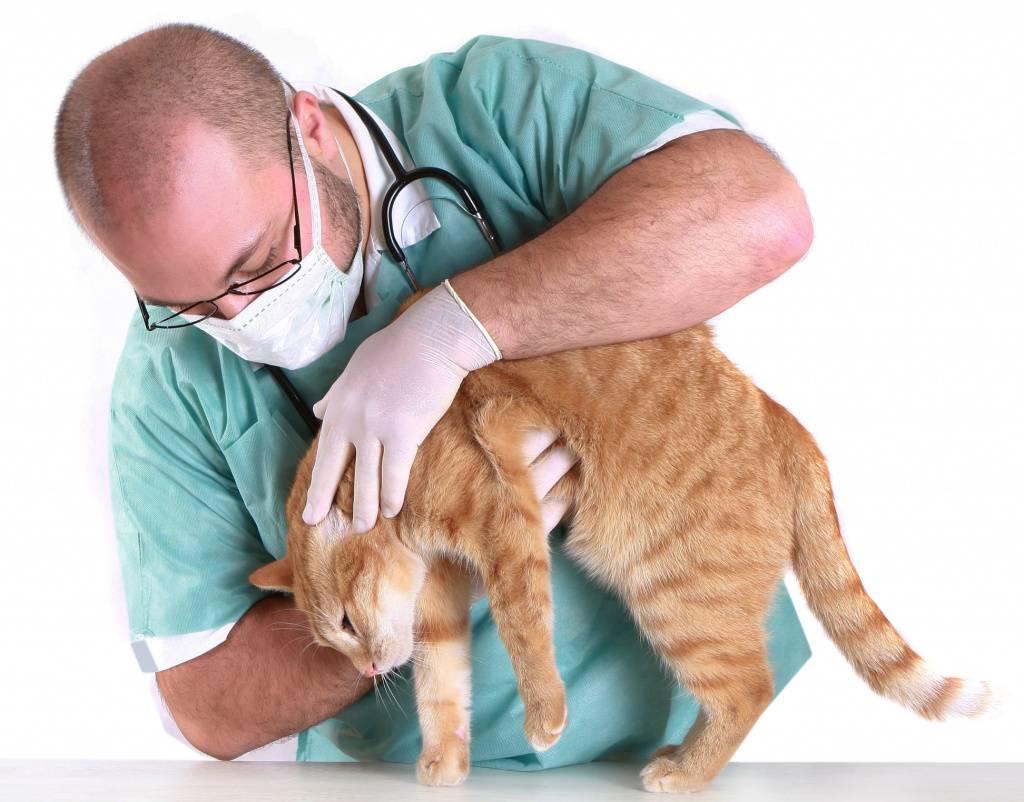 Лечение токсоплазмоза у кошек
