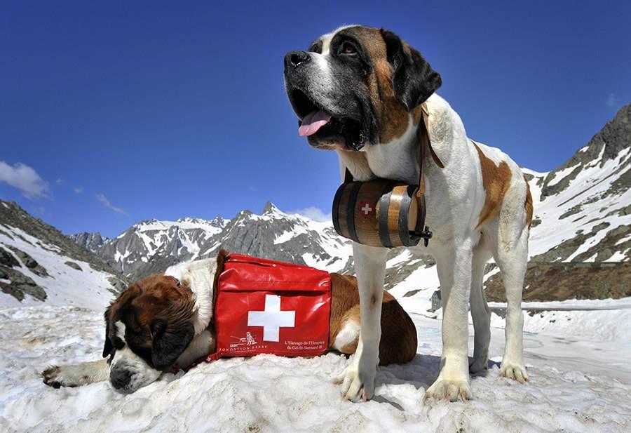 На службе, и в горах, и на воде — лучшие породы собак спасателей
