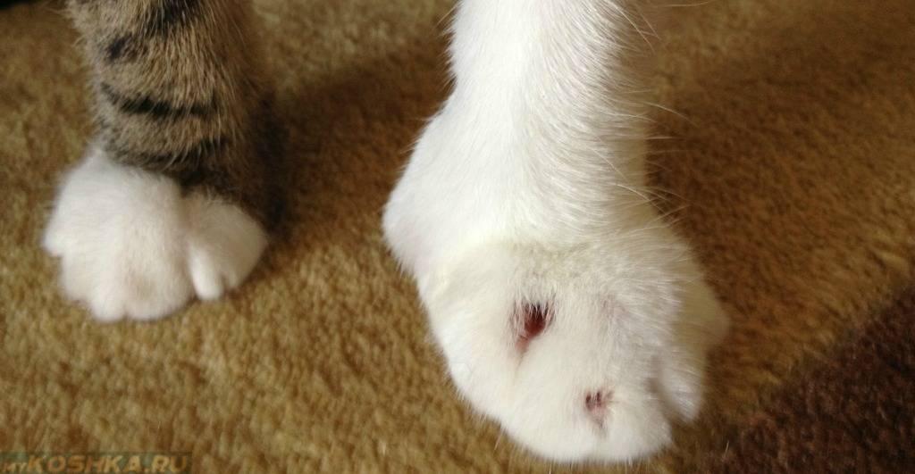Кот хромает на переднюю лапу что делать? список причин