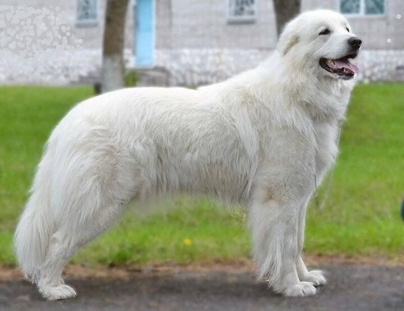 Пиренейская овчарка: описание породы с фото, короткошерстная, длинношерстная собака