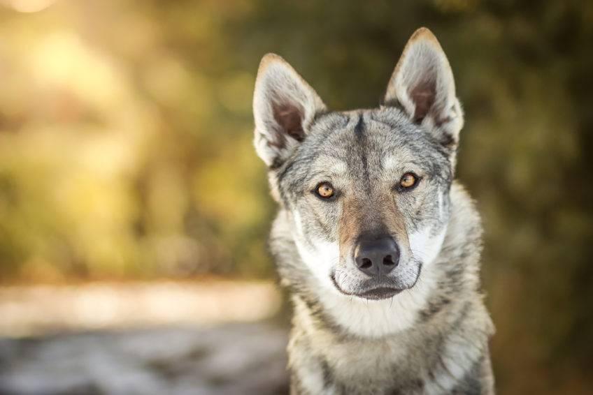 Чехословацкая волчья собака, или чешский влчак: фото и описание породы, содержание и уход