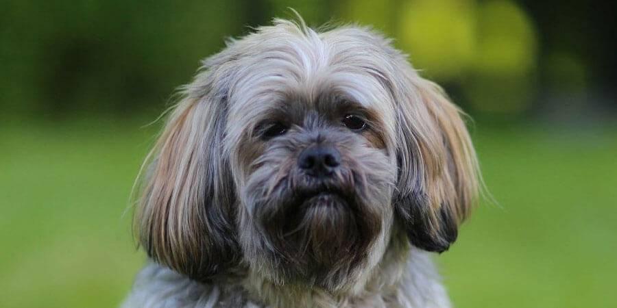 Лхаса апсо: фото собак, описание породы, уход и воспитание