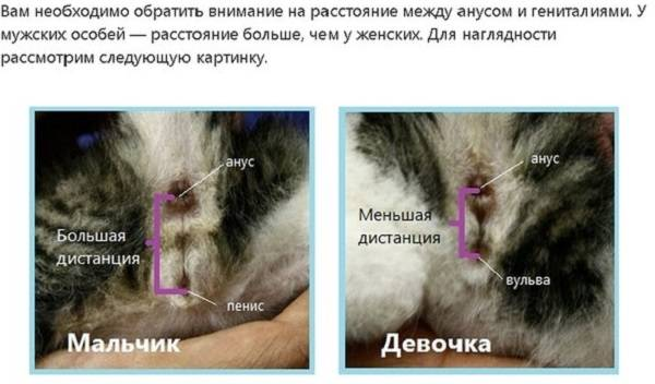 Как определить пол котенка в 1, 2, 3 месяца и более, как отличить кота от кошки - половые признаки