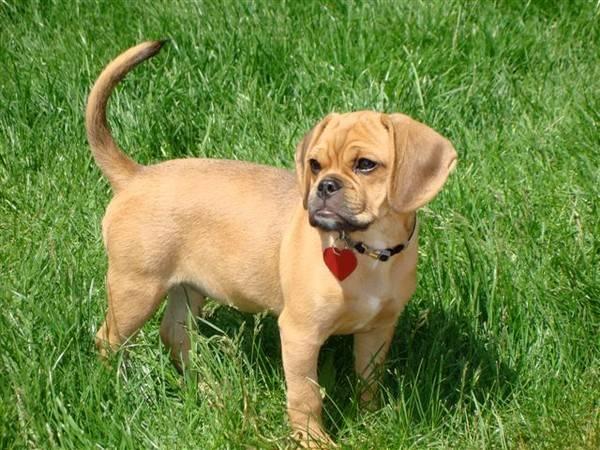 Порода собак пули - описание, характер, характеристика, фото пули и видео, цена пастушьей собаки