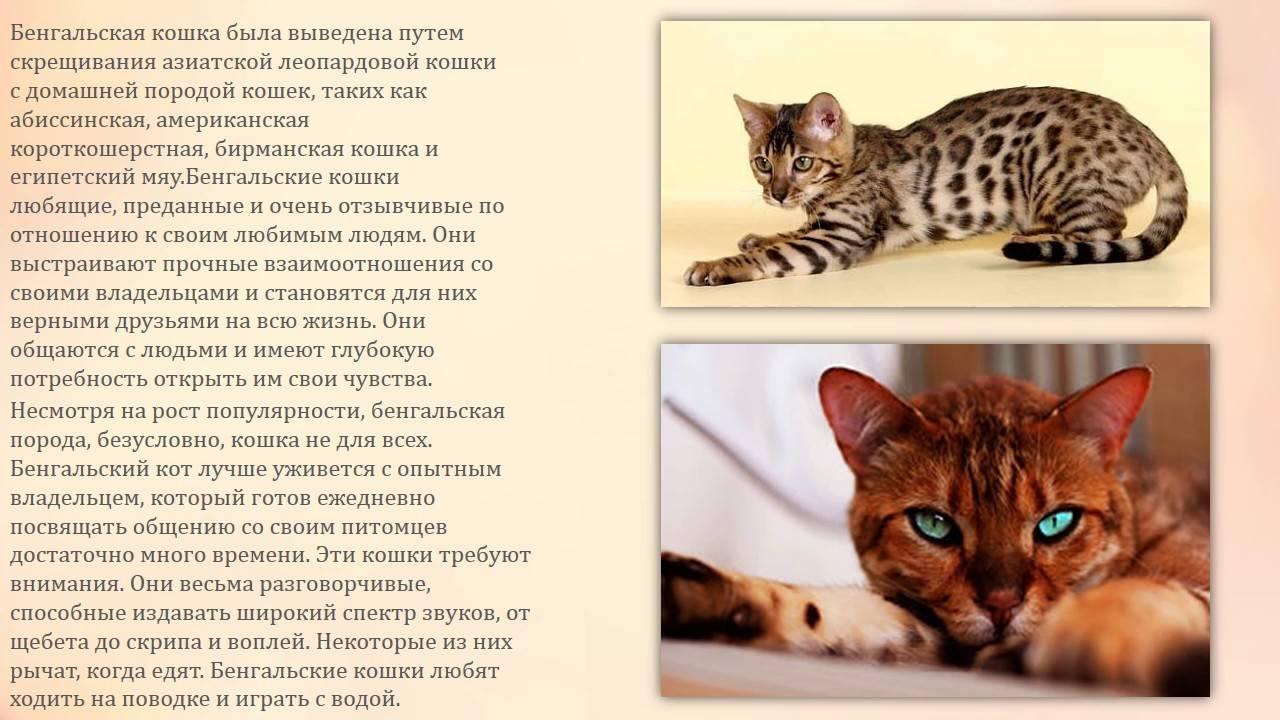 Бенгальская кошка - характеристика породы, описание, уход