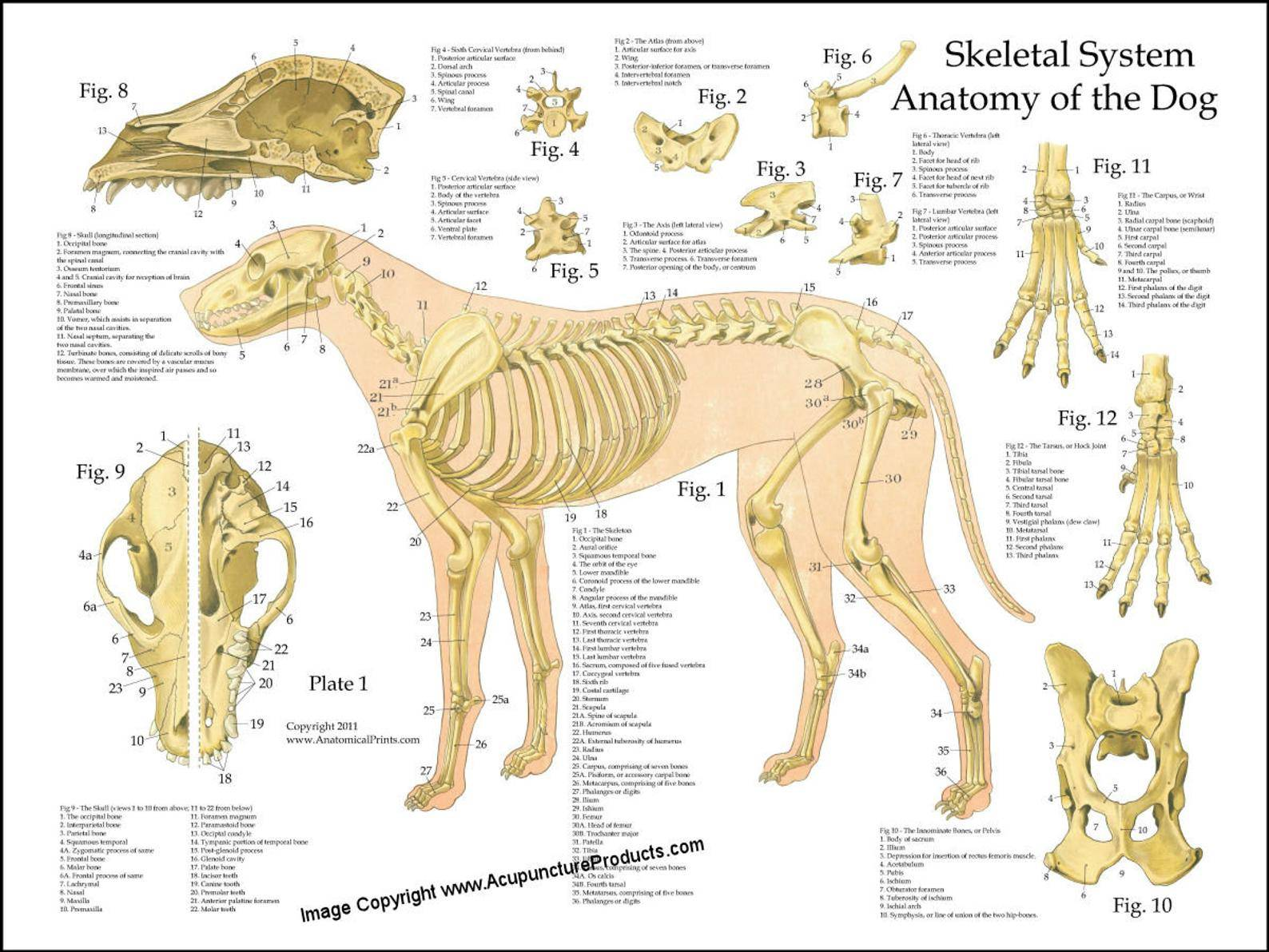 Анатомия сельскохозяйственных животных. контрольная работа. биология. 2012-10-31