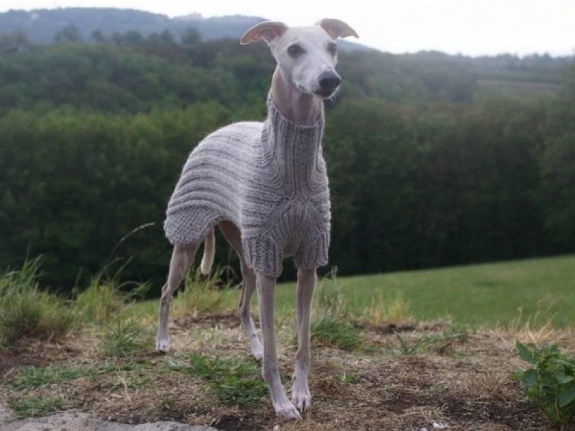 Левретки (62 фото): описание породы собак, особенности характера итальянских борзых, советы по выбору одежды для владельцев щенков
