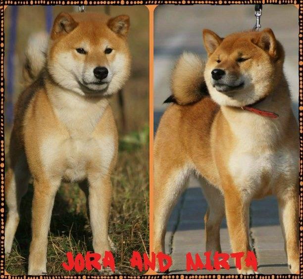 Японские породы собак - названия и фото (каталог)